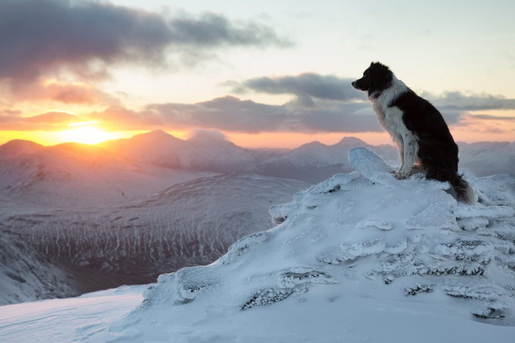 Border Collie sitting on snow covered mountains watching a sunset
