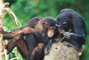 Chimps poking at an ant hill with a stick